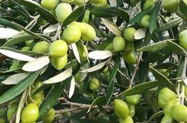Gandelin-food-olive